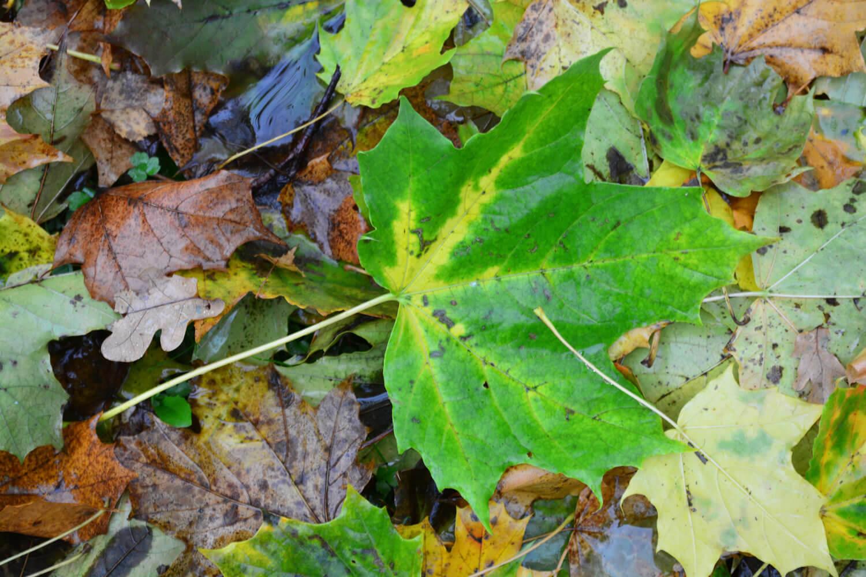 Makler-Mühlenbeck - Herbstlaub