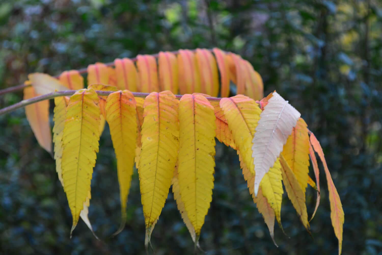 Zwei Blätter eines Essigbaums in Schildow - Makler Schildow